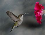 Колибри в полет ; comments:51