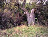 Старото дърво ; comments:9