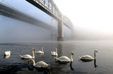 SWANS IN THE MIST ; comments:89