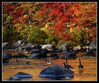 Канадски гъски по време на миграция ; comments:20