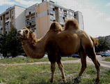 Urban Camel ; comments:7