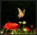 Otlitane (Papilio glaucus v polet) ; comments:22