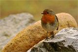 Червеногръдка (Erithacus rubecula ) ; comments:32
