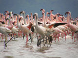 Lesser Flamingo (Phoenicopterus minor) ; comments:30