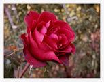 Есенна роза ; comments:29