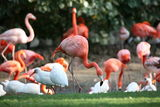 Flamingos in Tampla, Florida ; comments:21