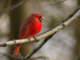 Red cardinal ; comments:57