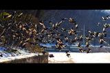 Птиците ; comments:96