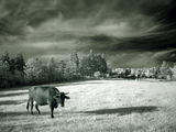 Пейзаж с крава в IR - 1 ; comments:29