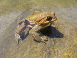 Bufo bufo-Голяма крастава жаба ; comments:8
