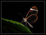 Стъклено крило (Greta oto) 2 ; comments:60