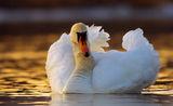 Ням лебед (Cygnus olor) ; comments:74