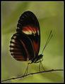 Пеперуда Пощалъон (Heliconius hecale) ; comments:39