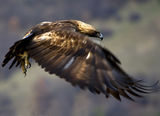 Отлитане-Скален орел ; comments:44
