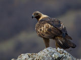 Golden Eagle ; comments:57