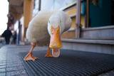 ..някаква улична патка.. ; comments:60