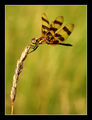 Водно конче (Celithemis eponina) ; comments:22
