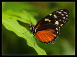 Хеликония (Heliconius hecale) ; comments:43