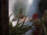 цветята ми замислени за laila ; comments:14