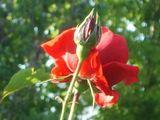Една роза от пролетта ; Comments:1