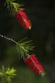 Callistemon / bottlebrush ; Comments:9