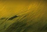 Ечемик (Hordeum vulgare) ; comments:61