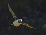 puffin ; comments:56