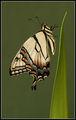Източна тигрова лястовича опашка (Papilio glaucus) ; comments:37