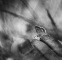 Хремава пеперуда ; comments:53