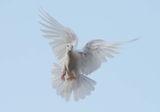 Гълъбче ми бяло 2 ; comments:7