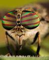 Конската муха Гана ; comments:82