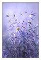 Violet Summer ; comments:49