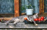 За котките и доматите... или един следобед на Котак Амсалакович. ; comments:78