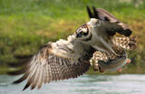 Osprey's hunting action ; comments:108