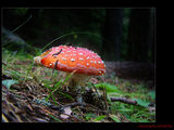muscaria amanita ; comments:30