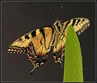 Източна тигрова лястовича опашка (Papilio glaucus) ; comments:17