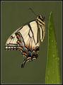 Жълта Лястовича Опашка (Papilio glaucus) ; comments:33
