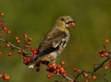 Hawfinch ; comments:47