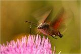 Розовокоремчест сърдит пеперуд ; comments:19