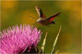 Пеперудоид ; comments:15