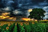 Залез над слънчогледова нива ; Comments:68