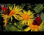 Пеперудите ; comments:37