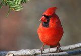 кардинал ; comments:41