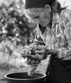 сортиране на грозде, с. Осмар близо до Шумен ; comments:25