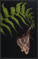 Американско Нощно Пауново Око (Hyalophora euryalus) ; comments:23