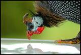 Голямото пиле ; comments:7