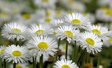 DAISIES ; comments:41