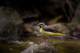 Планинска стърчиопашка (Grey Wagtail - Motacilla cinerea) ; comments:40