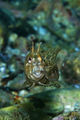 Blennius tentacularis ; Comments:6