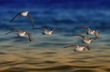 sanderlings in flight ; comments:69